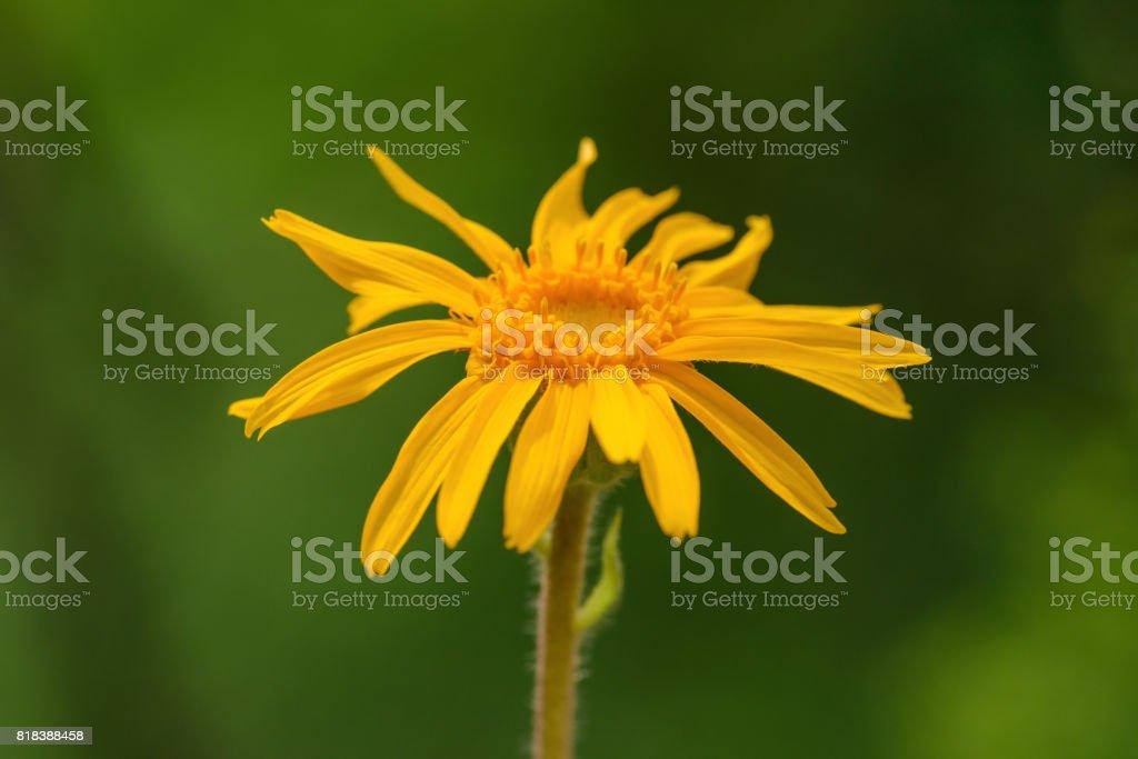 Arnica montana flower stock photo