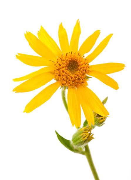 Arnika montana Blume – Foto