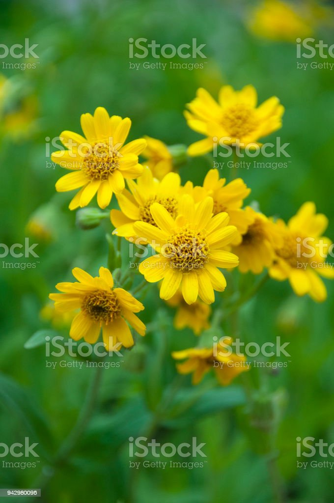 Yellow flower identification guide montana car owners manual arnica montana in bloom european flowering plant used in herbal rh istockphoto com bush with yellow perennial flowers creeping weed with yellow flowers mightylinksfo