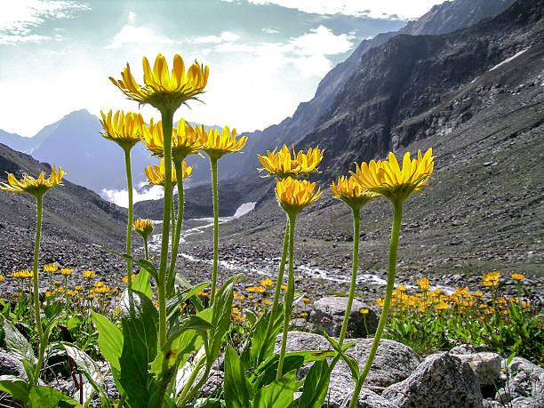 Arnika montana in den Alpen – Foto