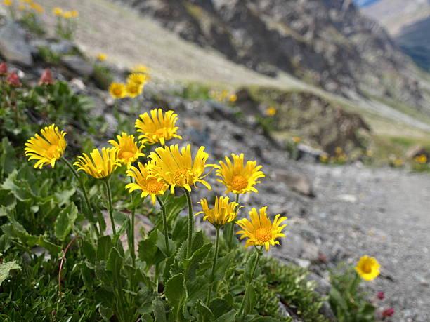 Arnika montana in die Berge – Foto