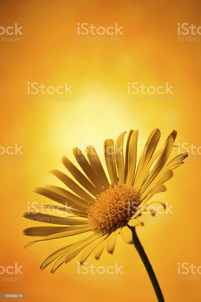 Arnica montana - foto de acervo