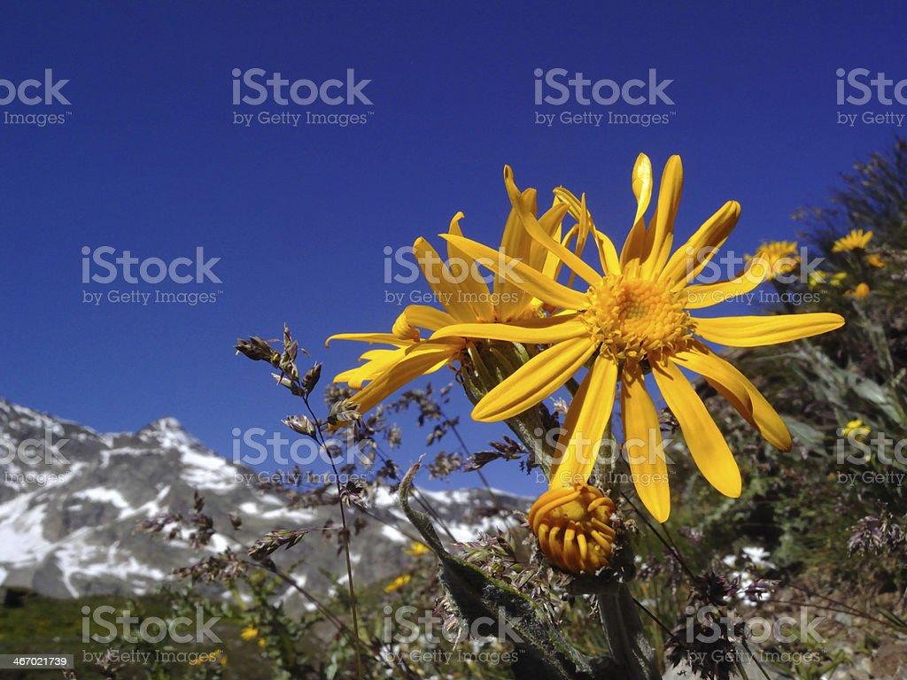 Arnica montana stock photo