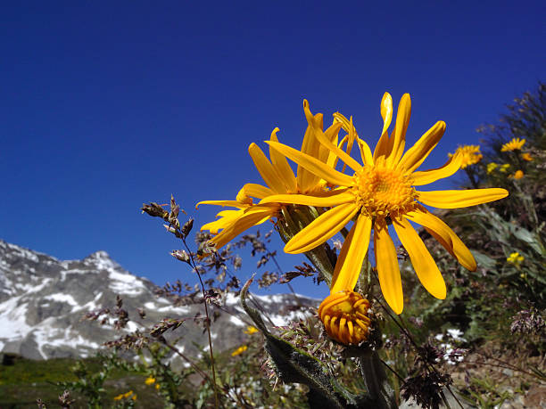 Arnika montana – Foto