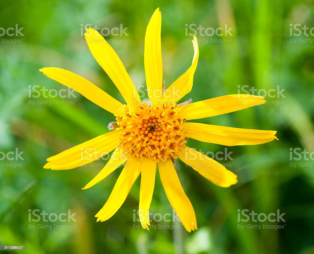 Arnica Montana Stock Photo & More Pictures of Arnica - iStock