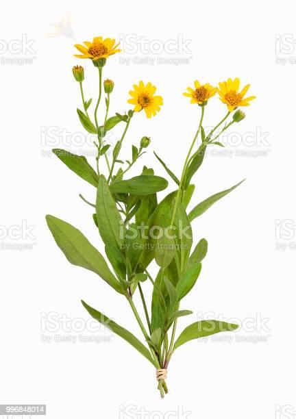 Arnica montana plant isolated picture id996848014?b=1&k=6&m=996848014&s=612x612&h=rnixpziufkwm96qnqikezutnlc166y oijpezaiwpiy=