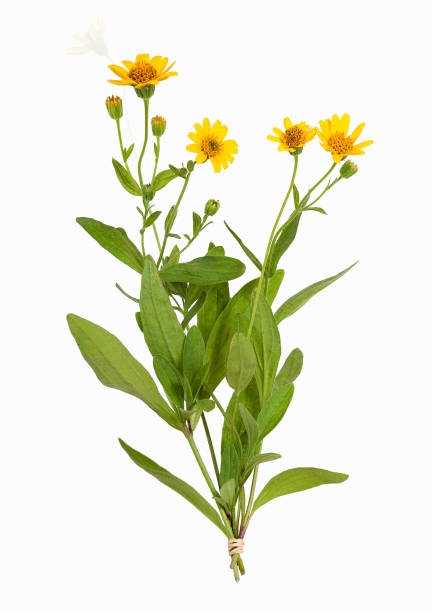 Arnika Montana Pflanze, isoliert – Foto