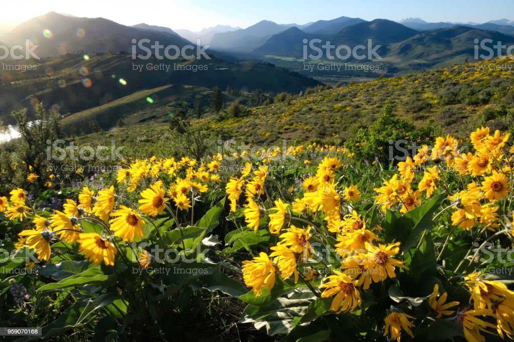 Arnica or Balsamroot flowers in beautiful  meadows. stock photo