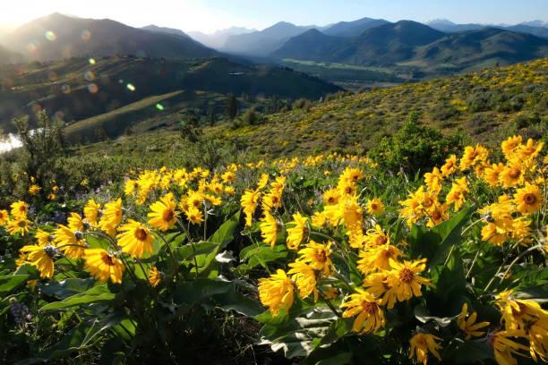 Arnica or Balsamroot flowers in beautiful  meadows. stock photo