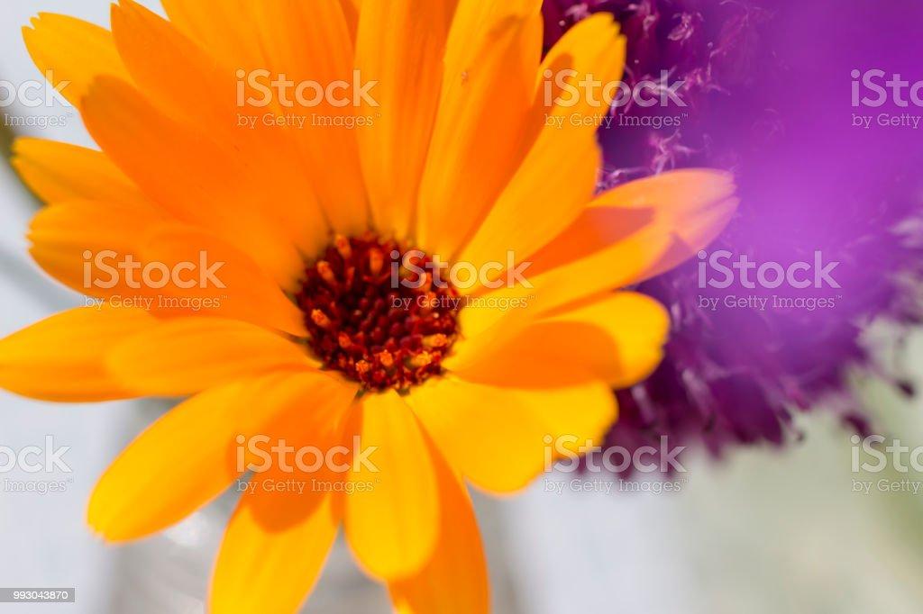 Arnica orange and purple stock photo
