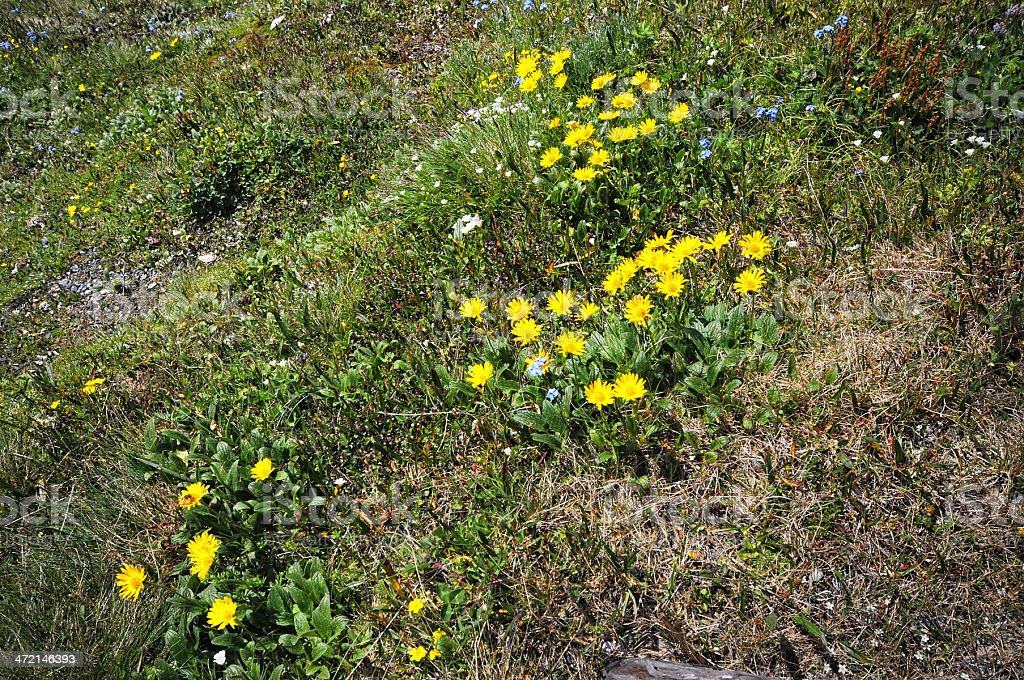 Arnica (flor família) - foto de acervo