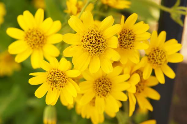 Arnica Sachalinensis viele Blumen mit gelb grün – Foto