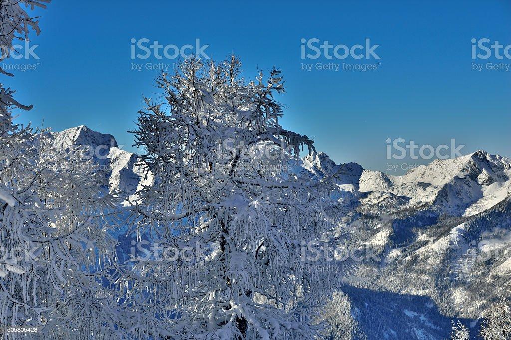 Arolla pine stock photo