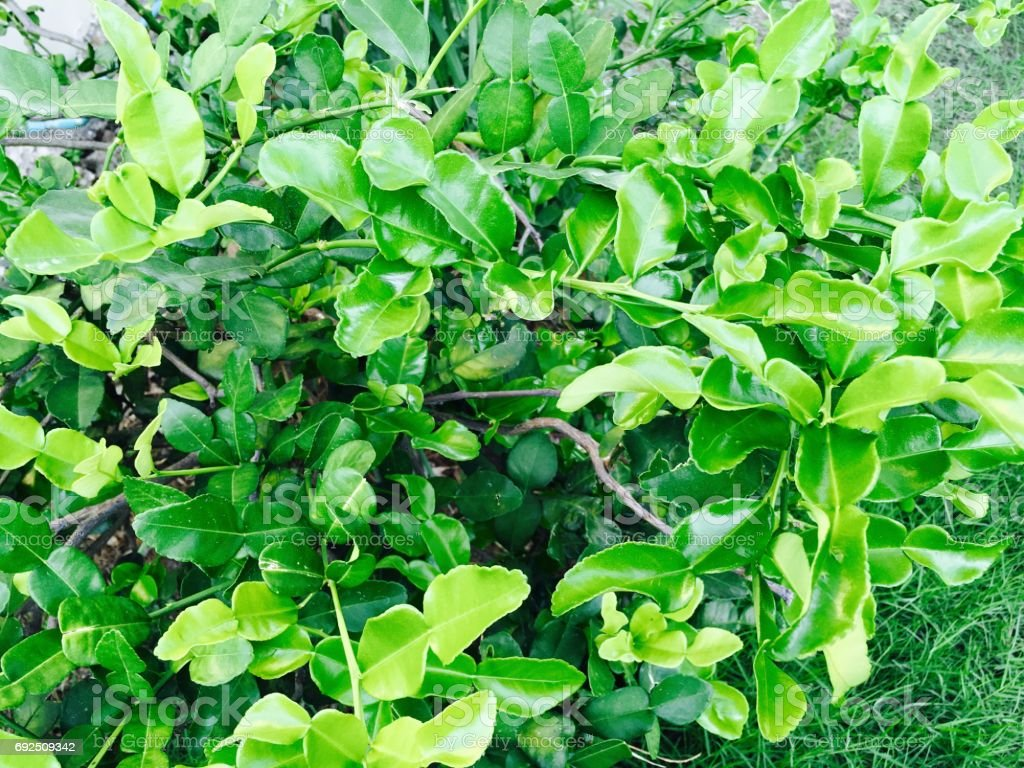 Aroma and Flavour Kaffir Lime Leaves on Tree stock photo