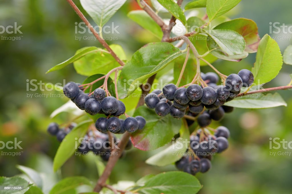 Aronia berries (Chokeberries) growing in the garden. – zdjęcie