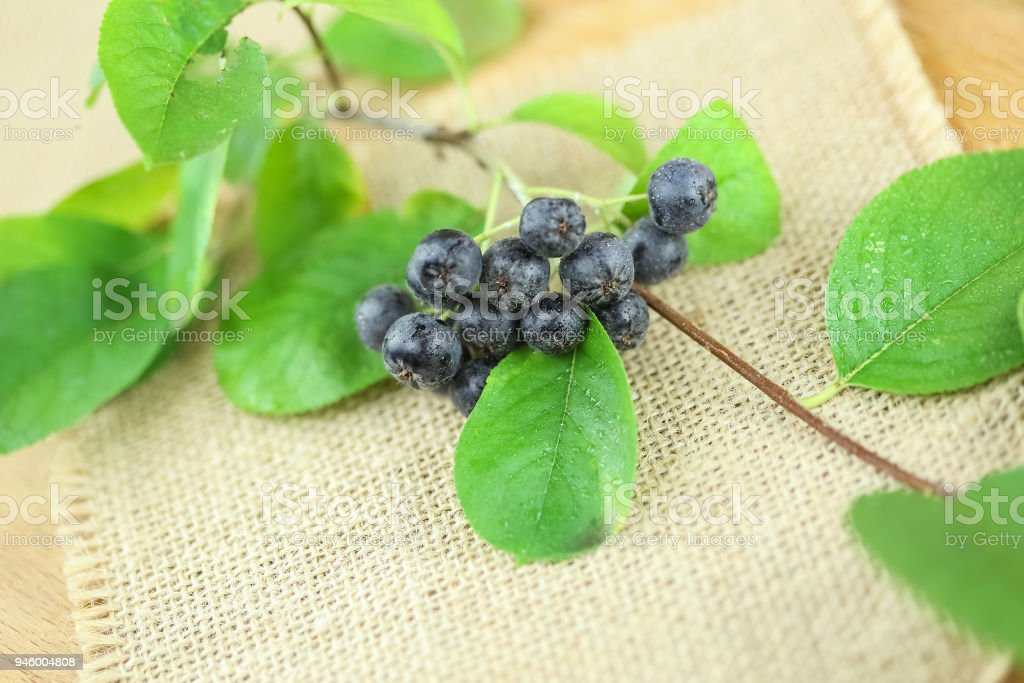 Aronia Branch in Studio stock photo