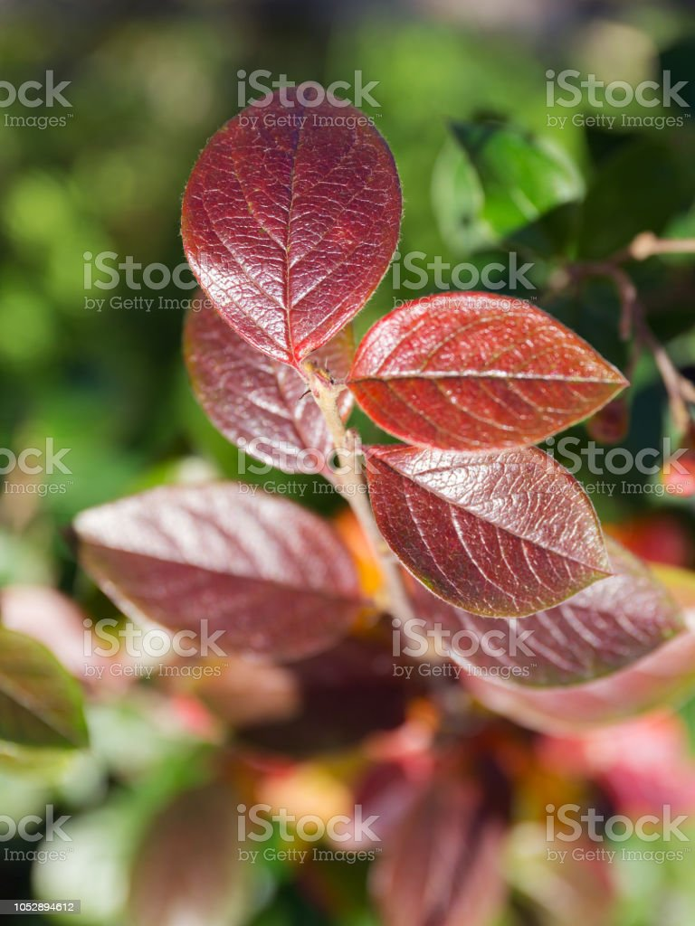 aronia in autumn close up – zdjęcie