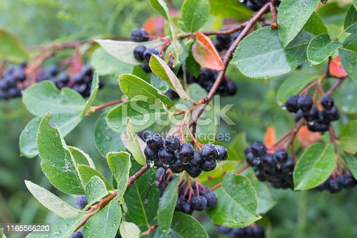 istock Aronia melanocarpa, black chokeberry berries on branch 1165566220