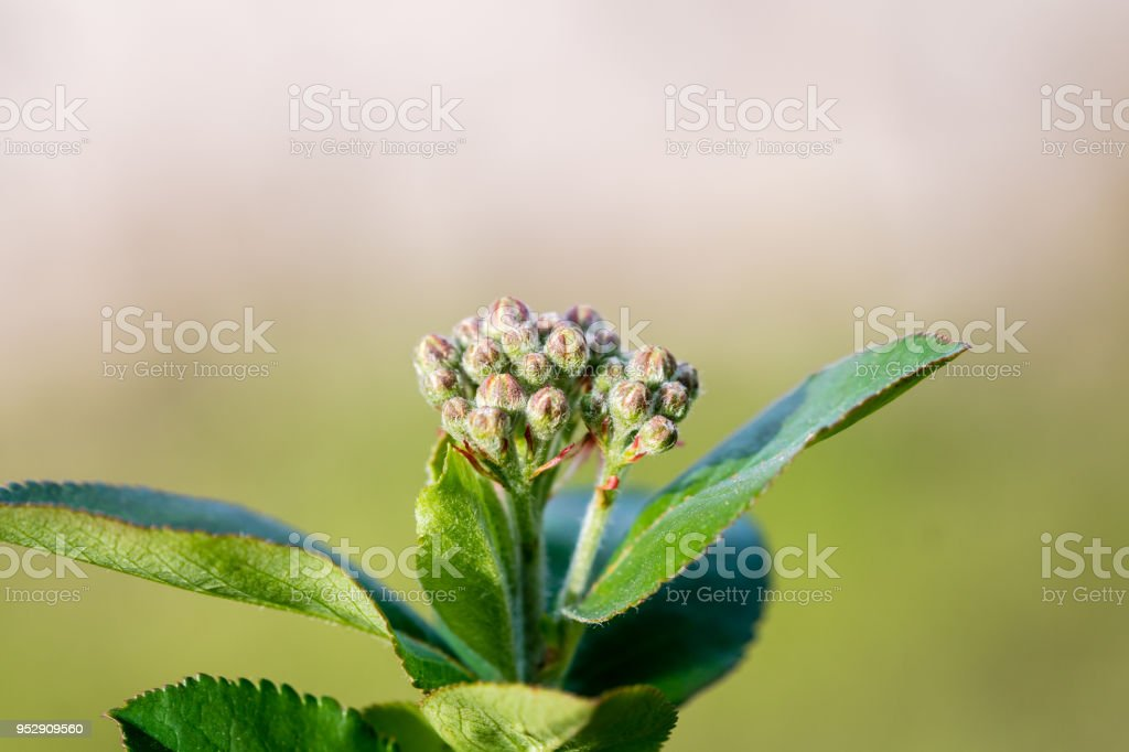 Aronia melanocarpa blossom stock photo