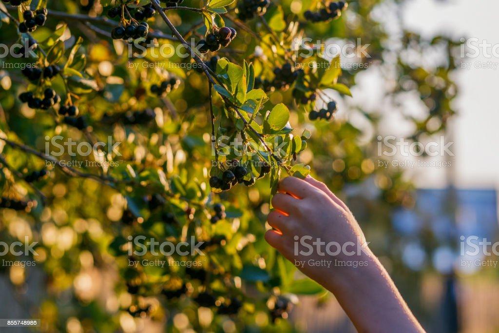 Aronia stock photo