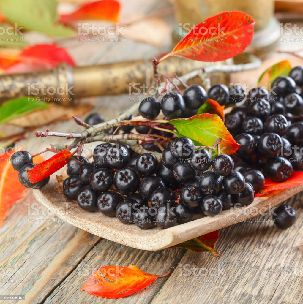 Aronia with autumn leaves . stock photo