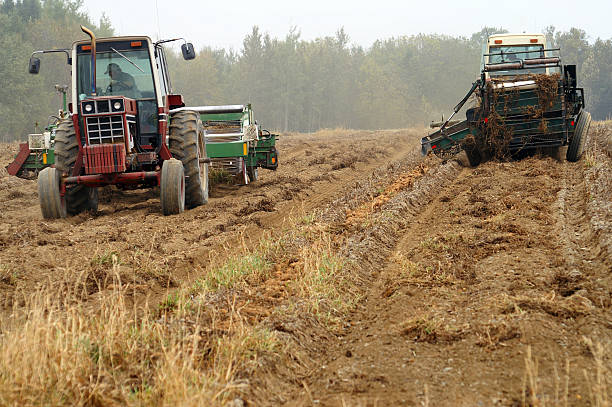 Aroostook Potato Harvest stock photo