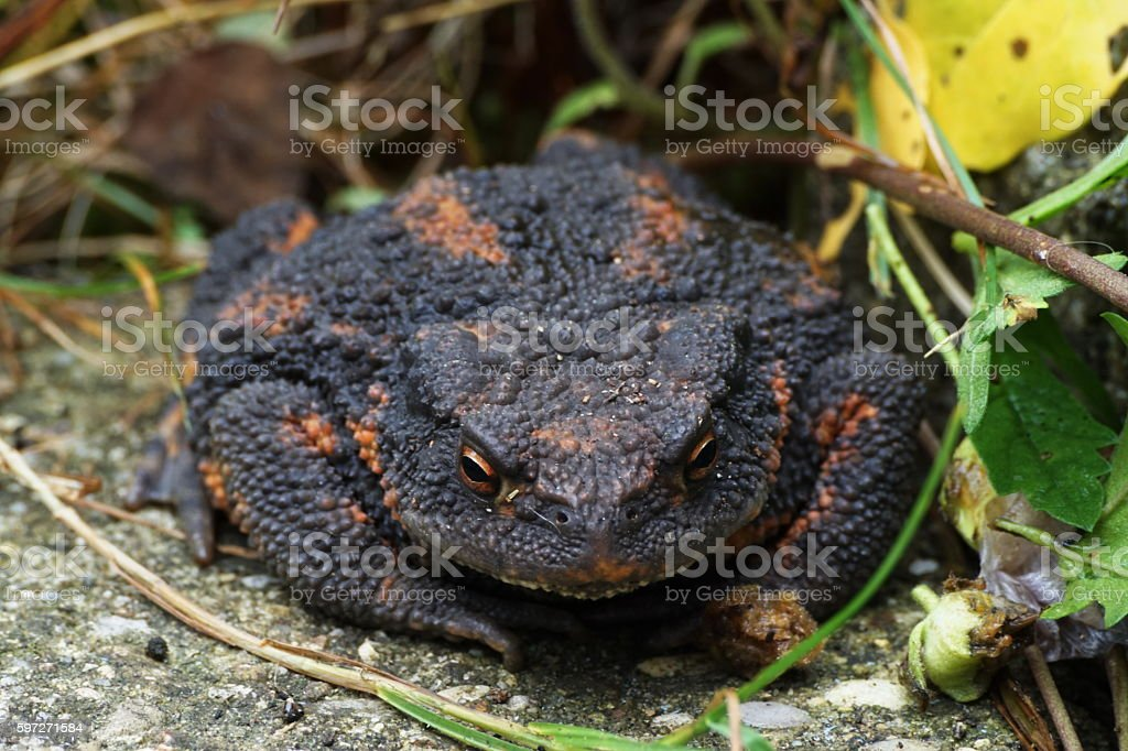Around our Pond. The european common toad Bufo bufo... royalty-free stock photo