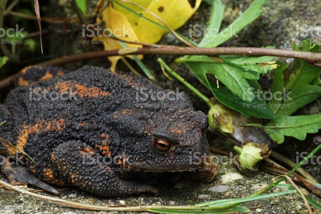 Around our Pond. The european common toad Bufo bufo... Lizenzfreies stock-foto