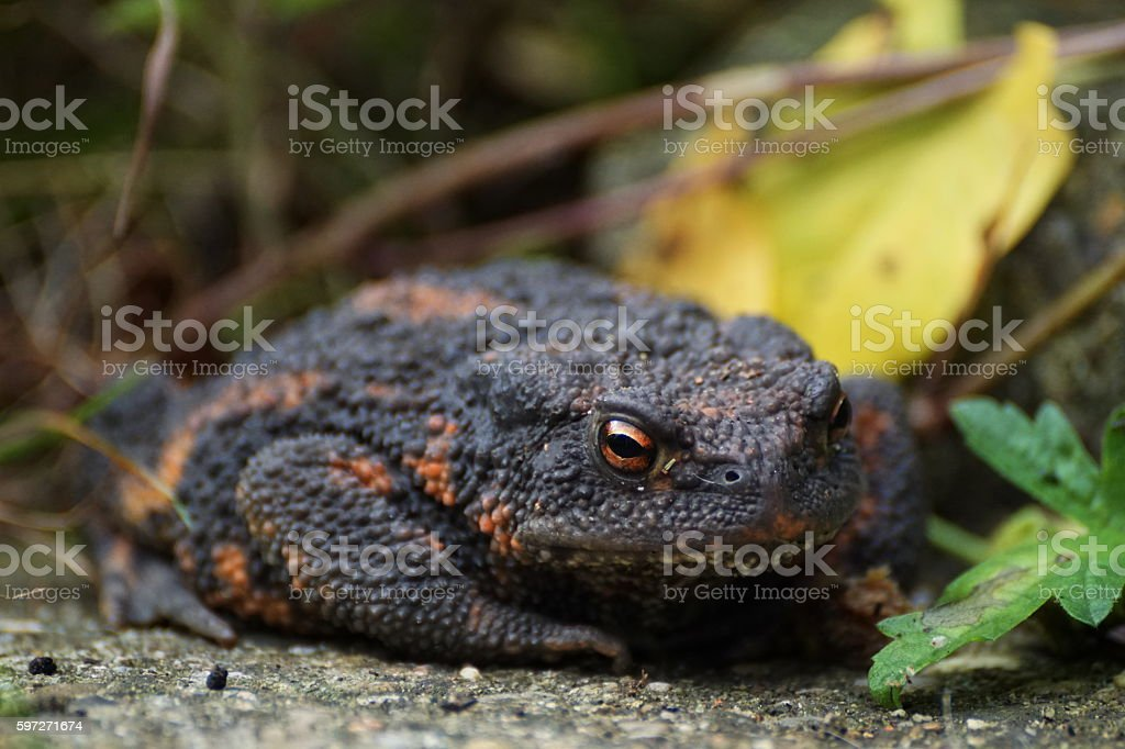 Around our Pond. The european common toad Bufo bufo... photo libre de droits