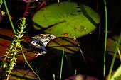 Bavaria, Germany: Around the pond. The common frog (Rana temporaria) on water lily leaf.