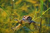 Closeup of the European common brown frog (Rana temporaria).