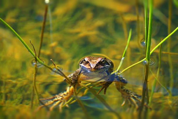 rund um den teich. der grasfrosch (rana temporaria). - teichfiguren stock-fotos und bilder