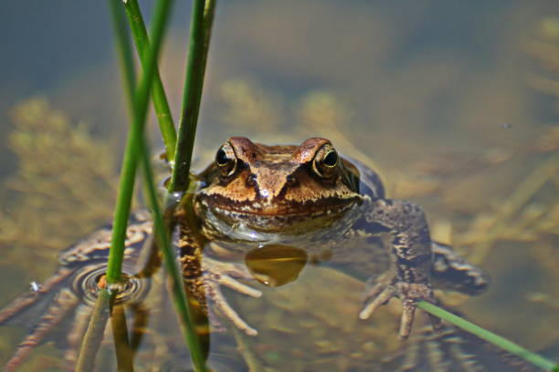 Around the pond. The common frog (Rana temporaria). stock photo