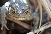 Around the pond. The common frog (Rana temporaria).