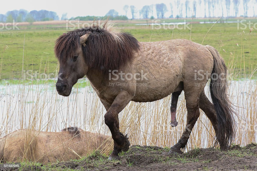 penis konia