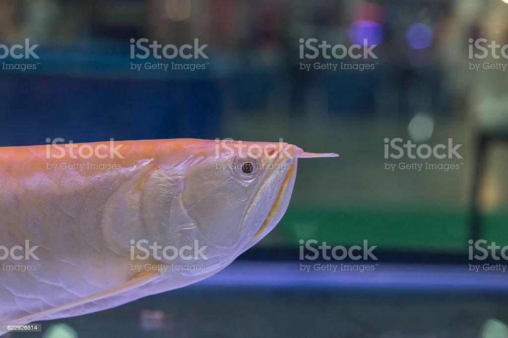 Arowana fish looking for something stock photo