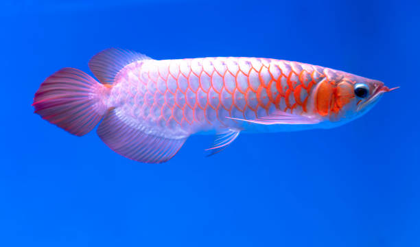 Arowana im Aquarium – Foto