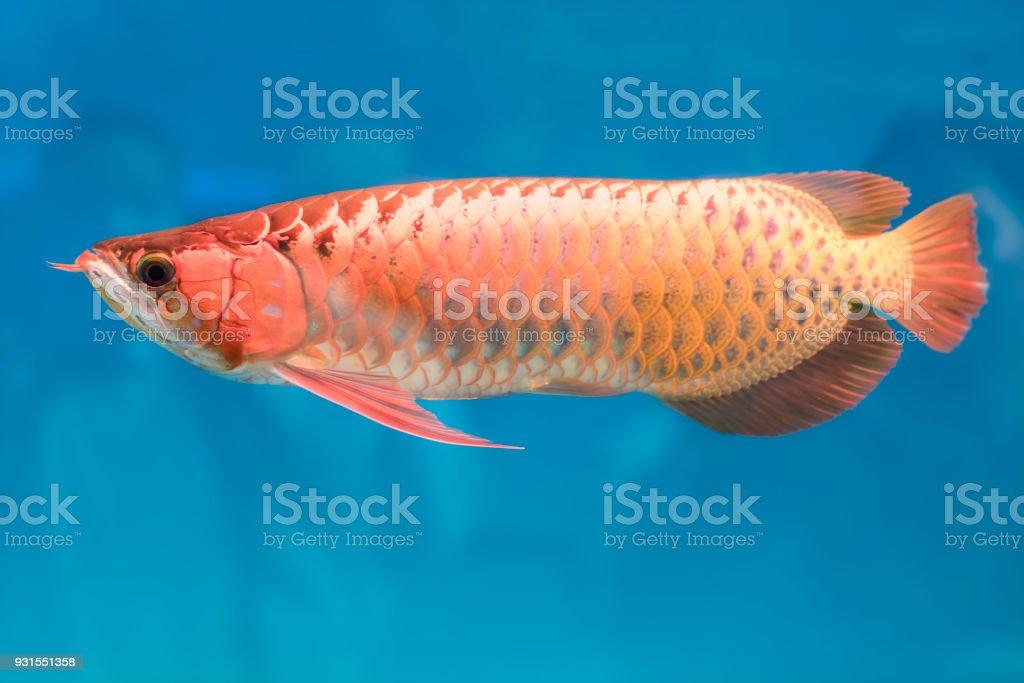 Arowana im Aquarium, dies ist ein Lieblings Fisch mit lange Körperform, schöne Drachen bunt – Foto