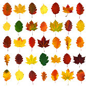 Arranged colorful yellow, red, orange, green hawthorn, maple, oak fall leaves, isolated on white background