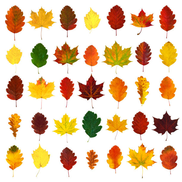 Arranged colorful yellow, red, orange, green hawthorn, maple, oak fall leaves, isolated on white background Arranged colorful yellow, red, orange, green hawthorn, maple, oak fall leaves, isolated on white background autumn leaf color stock pictures, royalty-free photos & images