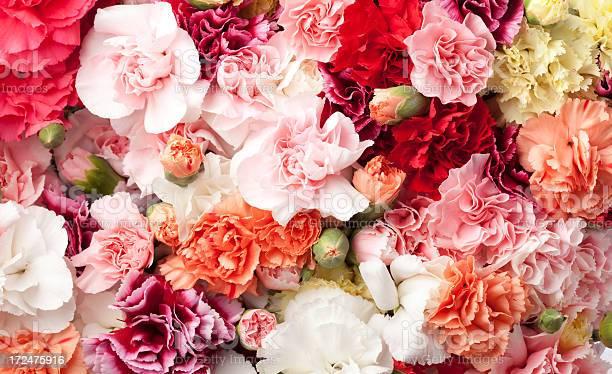 Arrangement of carnations in multicolors picture id172475916?b=1&k=6&m=172475916&s=612x612&h=y6oz8kvpcld5lw f7fb7rrmkwi13 fahhbge2mttr4c=