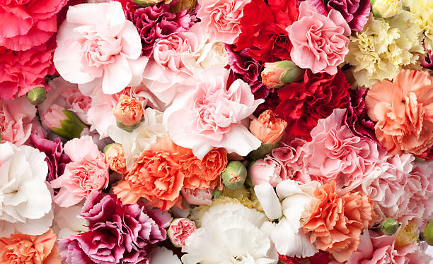 Arrangement of carnations in multicolors stock photo