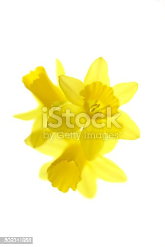 Arrangement of daffodil flowers