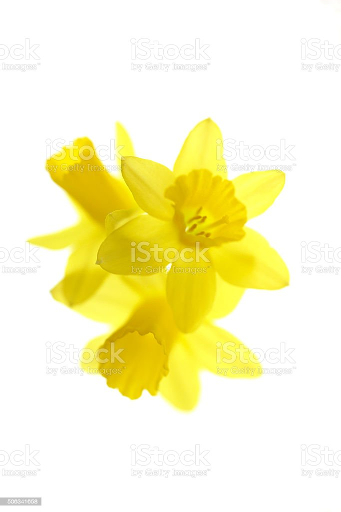 Arrangement of daffodils stock photo