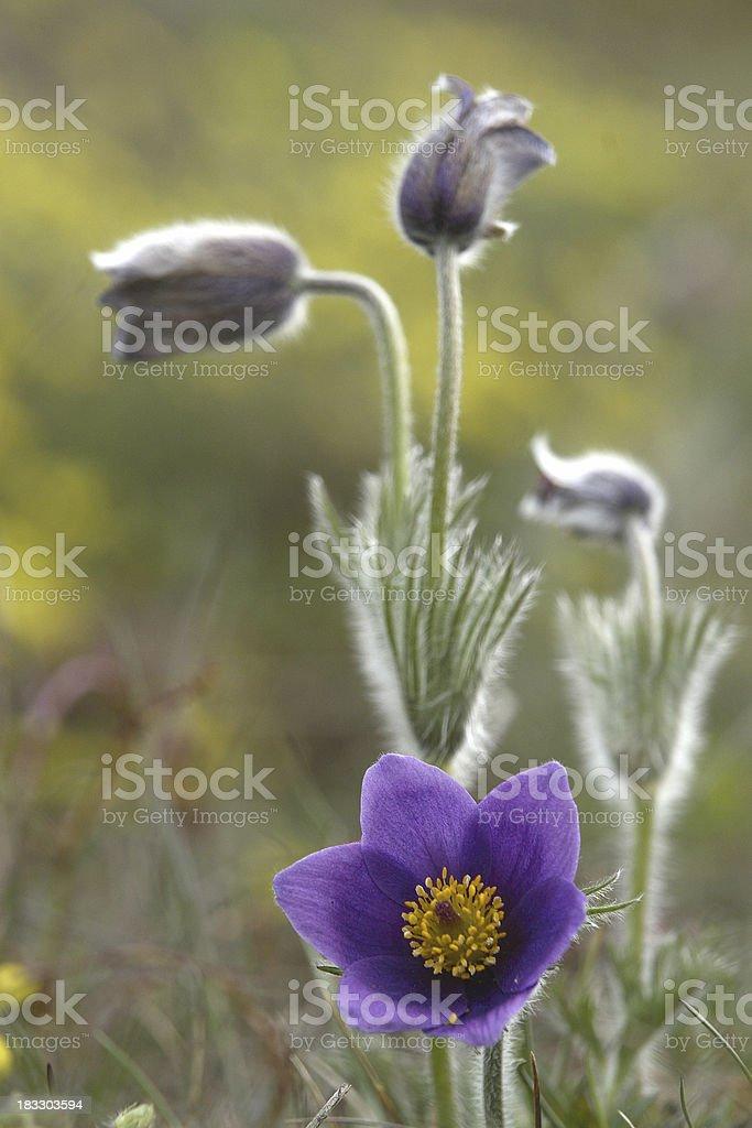 Arrangement of Pasque Flowers stock photo