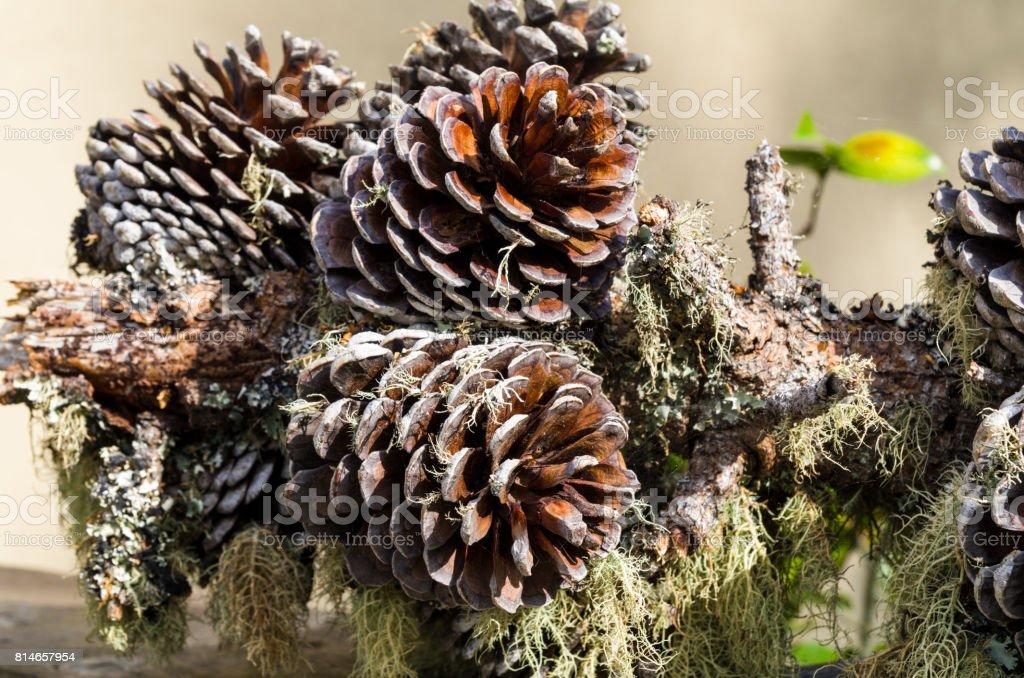 Arrangement of pine cones, moss and lichen stock photo