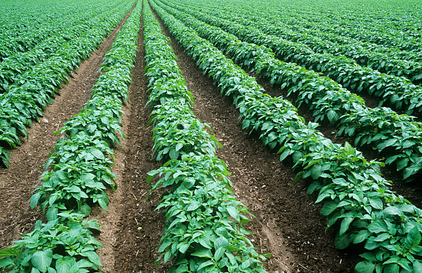 Arrangement of rows of potatoes growing in a field stock photo