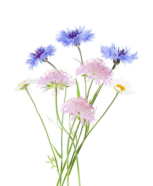 Arrangement of wildflowers isolated on white background picture id171574503?b=1&k=6&m=171574503&s=612x612&w=0&h=x026hwn25mz4bpdrykqfildisvv9i kj4rsu1widcc0=