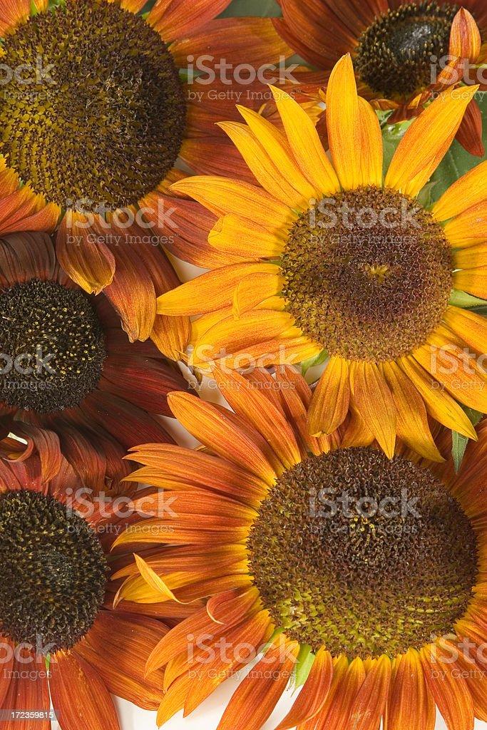 Arrangement- sunflowers-2 royalty-free stock photo