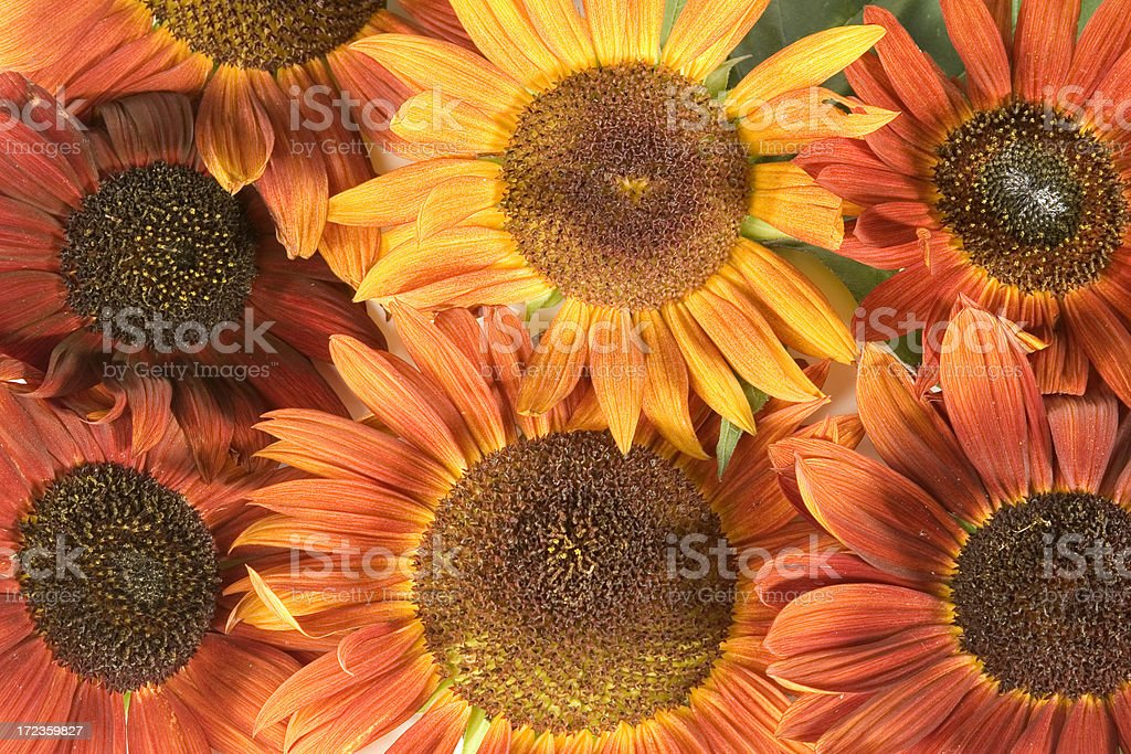 Arrangment- sunflowers royalty-free stock photo